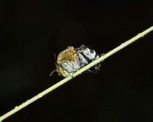 Blue Banded Bee - Amegilla Species