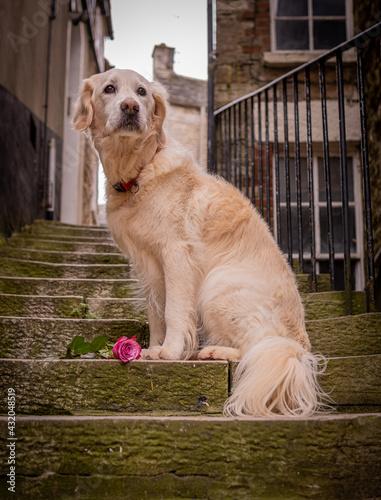 Fototapeta golden retriever pet dog sitting on steps in alley