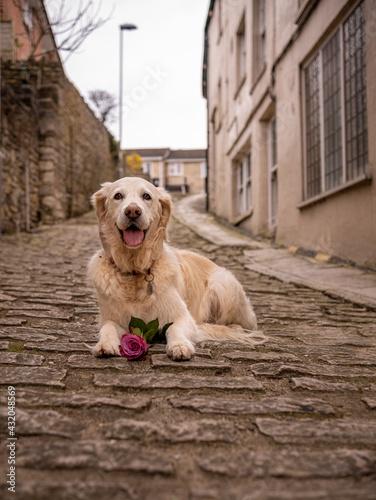 Obraz na plátně Happy dog with rose on cobble stones