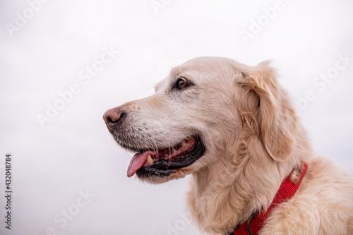 Fotografie, Obraz Happy golden retriever dog head shot