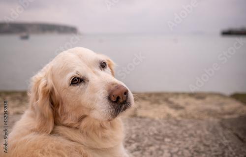Fotografie, Obraz Pet golden retriever dog overlooking bay