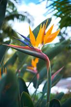 Bird Of Paradise Orange Flower  In The Garden On A Summer Day