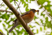 Low Angle Closeup Image Of An Eastern Robin Subspecies Of American Robin (Turdus Migratorius) Perching On A Tree Branch Holding An Earth Worm In Its Beak.