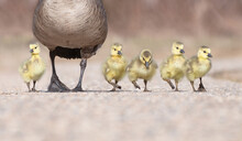 Canada Goose Parent With Goslings Walking On A Path