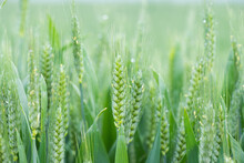 Young Green Wheat Ears Close-up In The Field