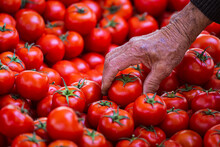 Close-up Of An Elderly Man Picking Tomatoes At The Market.  Fresh Tomatoes Variety Grown In The Shop. Tomatoes For Salad, Entree And Soup