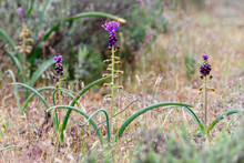 Muscari Comosum. Plants In Spring Of Feather Hyacinth Or Tassel Hyacinth.