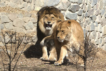 Close Up Portrait Of Standing Adult Lion And Lioness. Very Large Wild Cats. Photo From Animal Life.