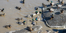 A Flock Of Ducks On A Pond With Dirty Water.