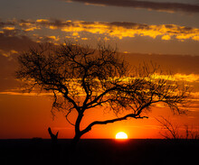 Silhouette Of A Tree At Sunset In The Bush, South Africa
