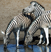Three Zebra Drinking At A Water Hole, South Africa