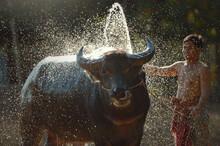 Farmer Standing In A  Field Washing A Water Buffalo, Thailand