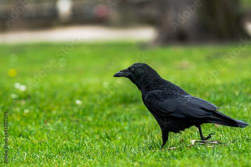 Fototapeta premium Raven walking through a park very detailed