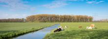 Calves In Meadow Near Canal In Landscape Of Green Heart Near Oudewater In Holland