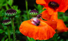 Red Poppies,  Green  Background, Close Up