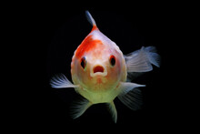 Close-Up Of A Pearlscale Goldfish Swimming Underwater, Indonesia