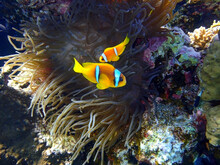 Two Orange Clownfish (Anemone Fish) In Anemone Soft Coral. Pair Of Bright Striped Marine Tropical Fish In Natural Habitat In Red Sea, Egypt. Amazing Symbiosis In Nature. Underwater Diving Photo.
