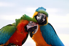 Portrait Of Two Scarlet Macaw Birds On A Branch, Indonesia