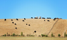 Herd Of Cows Grazing In A Hilly Field, Tongariro, North Island, New Zealand