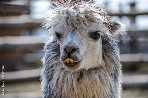 Fototapeta premium Funny teeth of gray alpaca