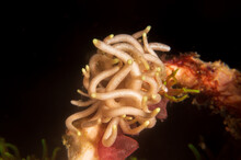 Yellow-Tipped Phyllodesmium (Phyllodesmium Briareum) A Sea Slug Or An Aeolid Nudibranch In The Family Facelinidae Near Anilao, Mabini,  Philippines.  Underwater Photography.