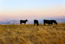 Four Cows Standing In A Meadow Grazing At Dusk, USA