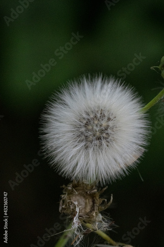 Fototapeta Head of a sow thistle in the blurred natural background
