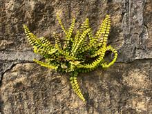 Fern Growing Out Of Wall. Maidenhair Spleenwort Also Known As Asplenium Trichomanes