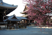 Cherry Blossoms At Hongwanji In Kyoto, Japan