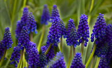 Armenian Grape Hyacinth