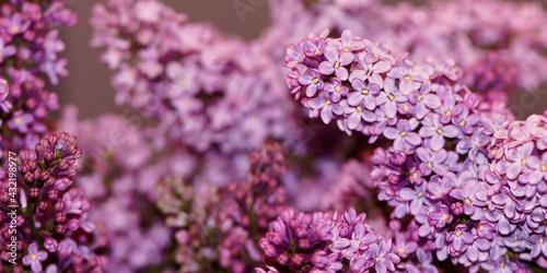 Obraz Lilak pospolity (Syringa vulgaris) - fototapety do salonu