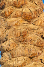 Palm Tree Bark Texture Background. Selective Focus.