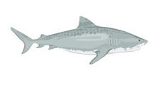 Vector Illustration, Ferocious Shark Attack, On A White Background. White Shark. Sea Fish. Shark Eater. Karcharodon. Great Aggressive Colored Shark. Sports Team Emblem. Vector Illustration.