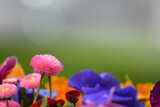 Fototapeta Tęcza - Kolorowe kwiatki wiosenne na tło.