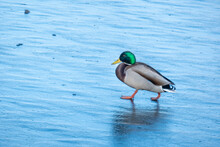 A Duck For The Winter. They're Sitting In The Ice. Copy Space For Text. Wild Life Of Animals Near People