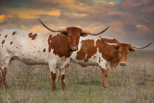 Texas Longhorn Cattle In A Pasture In The Oklahoma Panhandle.