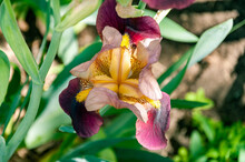 Close-up Photo Of Iris Flower (Iridaceae Family). Blooming Iris Dark Purple Color.