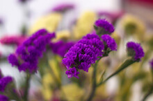 Closeup Of Purple Sea-lavender Flowers In A Sunny Garden With Blurred Background