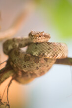 Tree Snake From Costa Rica, Coiled On A Tropical Palm Frond