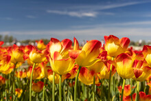 Red And Yellow Color Tulip Flowers With Blue Sky Background
