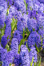Close Up Shot Of Bed Of Grape Hyacinth Flowers
