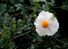 Matilija Poppy At Claremont Botanic Gardens