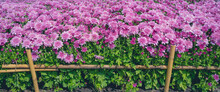 Close-up Of Pink Zinnia Flower On Background. Chrysanthemum Flowers In The Garden.