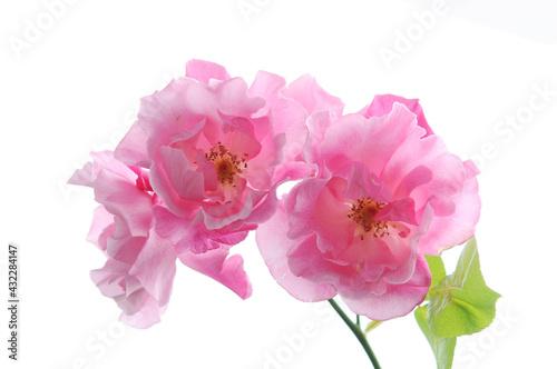Fototapeta ピンク色のバラ