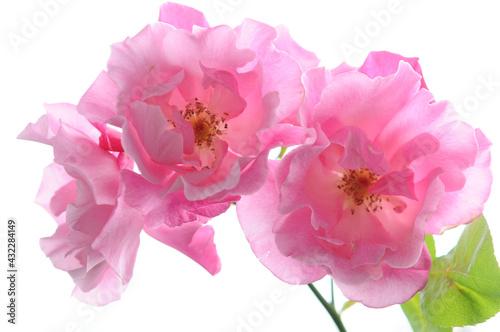Obraz na plátně ピンク色のバラ