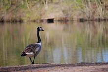 A Canada Goose Is Standing Cross Legged On The Shore Of The Lake And Looking At The Lake Branta Canadensis