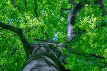 新緑のブナを見上げる