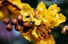 Peltophorum Pterocarpum, Known As Copperpod, Yellow-flamboyant, Flametree, Yellow Poinciana Flower Blossoms Close-up.