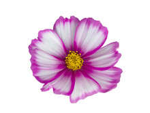 White With Pink Rim Colored Cosmos Flower Isolated On White Background.