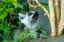 A Ring-tailed Lemur Head Close Up (Lemur Catta) With Mouth Open In The Madagascar Jungle.